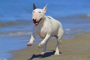 Pitbull Bull Terrier